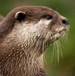 An otter, dismayed that his website was down